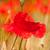 Rood · klaprozen · graan · velden · bloemen · landbouw - stockfoto © ivonnewierink