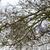 common wood pigeon in alder tree stock photo © ivonnewierink