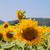 campo · girassóis · brilhante · verão · dia · flor - foto stock © ivonnewierink