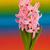 rosa · jacinto · flores · vermelho · pote · isolado - foto stock © ivonnewierink