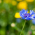 blue cornflower stock photo © ivonnewierink