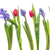 tulipas · rosa · azul · flores · isolado - foto stock © ivonnewierink
