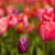Colorful tulips stock photo © ivonnewierink