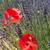 kırmızı · gelincikler · çiçekler · beyaz · sınır - stok fotoğraf © ivonnewierink