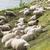 羊 · オランダ語 · 白 · 島 · 水 · 雲 - ストックフォト © ivonnewierink