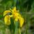 iris · eller · gizlenmiş · sarı · bayrak - stok fotoğraf © ivonnewierink