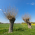 typical dutch landscape with willows stock photo © ivonnewierink