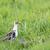 pássaro · campo · grama · natureza · animal - foto stock © ivonnewierink