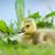 カナダ · ガチョウ · 公共 · 公園 · 鳥 · パス - ストックフォト © ivonnewierink