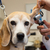 bigle · veterinário · ouvido · cão · dor · animal - foto stock © ivonnewierink