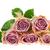 Rood · rose · geïsoleerd · witte · blad - stockfoto © ivonnewierink