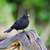 common blackbird stock photo © ivonnewierink