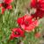 klaprozen · zonneschijn · Rood · roze · zonnige - stockfoto © ivonnewierink