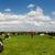 landbouwer · lopen · zwart · wit · koeien · wolken - stockfoto © ivonnewierink