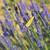 common brimstone butterfly on lavender stock photo © ivonnewierink