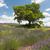 ツリー · ラベンダー畑 · 美しい · いかがわしい · 緑の木 · 成長 - ストックフォト © ivonnewierink