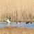 mallard ducks swimming in nature lake stock photo © ivonnewierink