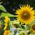 Sunflower  stock photo © jakgree_inkliang