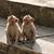 Monkey young (Macaca fascicularis) at khao wang ,Petchburi Thail stock photo © jakgree_inkliang