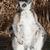 ring tailed lemur catta stock photo © jamdesign