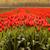 alan · kırmızı · lale · gökyüzü · çiçek · manzara - stok fotoğraf © jameswheeler