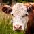 brown cow head shot stock photo © jameswheeler