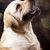labrador · retriever · cão · cara · retrato · animal · cachorro - foto stock © JanPietruszka
