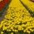 lila · tulipánok · zöld · park · virágágy · virágok - stock fotó © janpietruszka
