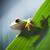 red eye tree frog stock photo © janpietruszka