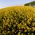 canola springtime vivid rural concept stock photo © janpietruszka