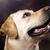 hond · labrador · retriever · gezicht · portret · dier · puppy - stockfoto © JanPietruszka
