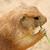 préri · kutya · eszik · természetes · élőhely - stock fotó © jarenwicklund