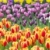 Colorful sea of beautiful tulips in full bloom stock photo © jarenwicklund