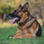 ritratto · pastore · cane · erba · sicurezza · autunno - foto d'archivio © Jasminko