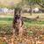 hond · herder · gras · veiligheid · najaar · huisdieren - stockfoto © Jasminko