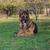 cane · pastore · guardando · fotocamera · erba · sicurezza - foto d'archivio © Jasminko