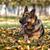 pastor · policía · perro · hierba · seguridad · otono - foto stock © Jasminko
