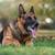 çoban · polis · köpek · çim · güvenlik · sonbahar - stok fotoğraf © jasminko