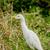 Cattle Egret stock photo © JFJacobsz
