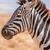 alföld · zebra · iszik · ivóvíz · dél · víz - stock fotó © jfjacobsz