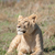 lioness resting on hill inside ngorongoro crater stock photo © jfjacobsz