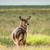 Waterbuck Watching stock photo © JFJacobsz