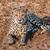 gepárd · föld · bokor · Namíbia · homok · Afrika - stock fotó © JFJacobsz