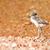 lapewing chick at lake stock photo © jfjacobsz