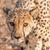 gepárd · vad · macska · szemek · közelkép · macskák - stock fotó © jfjacobsz