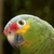 amazona · papagaio · animal · animais · de · estimação · fundo · branco - foto stock © jirivondrous