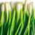 fresh spring onion stock photo © jirkaejc