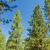 çam · ağaçlar · bahar · orman · grup · yeşil - stok fotoğraf © jkraft5