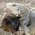 büyük · iguana · kertenkele · arka · plan - stok fotoğraf © jkraft5