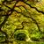 Japon · akçaağaç · ağaç · bahçe · doğa · yaprak - stok fotoğraf © jkraft5